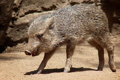 Happy Little Peccary (Penny Hyde) Tags: piglet sandiegozoo peccary babyanimal