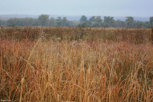 Photo - Early morning dew on the tallgrass prairie near Bobolink Trailhead.