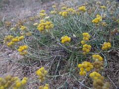 Immortelle des sables-Helichrysum arenarium