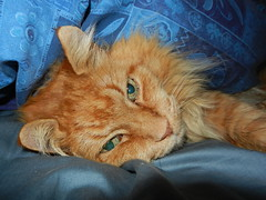 DSCN1427 under the covers (drayy) Tags: sleeping orange cat ginger bed soft quilt sleep fluffy sleepy cover mainecoon neko covers ggg lolcat cc800 cc700 cc400 cc300 cc200 cc100 cc500 cc600 oreengeness lolcats velvetpaws kittyschoice thebiggestgroupwithonlycats catmoments