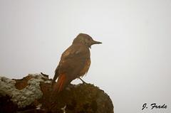 Melro-das-rochas (Monticola saxatilis) - fêmea. (Jose Frade) Tags: bird ave frade monticolasaxatilis melrodasrochas
