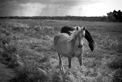 The Wind In Her Mane (Cris Rose) Tags: leica blackandwhite horse animal clouds zeiss 50mm skies bokeh sharp pony m8 brooding bracken f2 common newforest planar