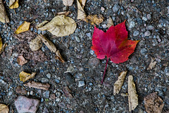 Autumn in Quebec (Mike Schaffner) Tags: autumn trees red canada fall leaves forest leaf maple woods quebec stones qubec qc gravel lamacaza parcnationaldumonttremblant
