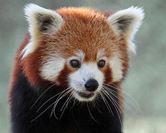 Red Panda (Buggers1962) Tags: portrait nature face animal closeup canon mammal zoo eyes firefox panda close wildlife redpanda colchester colchesterzoo sweetfreedom itsazoooutthere canon7d coppercloudsilvernsun highqualityanimals