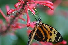 Up close to a Tiger nectaring on a wet Firespike (jungle mama) Tags: wet tiger ngc nectar fairchildgarden fairchildtropicalbotanicgarden firespike supershot tropicalbutterflies tithorea tithoreaharmonia sunrays5 wingsofthetropics