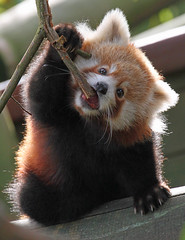 Baby Red Panda (Buggers1962) Tags: portrait nature face animal closeup canon mammal zoo firefox panda close wildlife redpanda colchester colchesterzoo greatphotographers itsazoooutthere canon7d highqualityanimals
