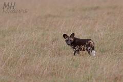 5D3_7062-Flickr (DocMac71) Tags: wild dog african afrikanischer wildhund