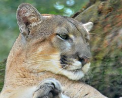 FOK_6158 (68photobug) Tags: rescue usa animals cat tampa zoo education nikon florida kitty exotic nikkor predator panther carnivore rehab lowryparkzoo 55300mm d7000 68photobug