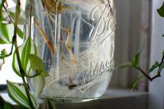 DSC_2023_darktable (M. Applegate) Tags: plant window nikon mason jar root hydroponic d3100