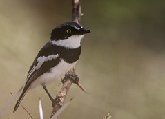 Chinspot Batis male (Rainbirder) Tags: kenya maasaimara chinspotbatis batismolitor rainbirder