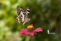 December Butterfly (Ringgo Gomez) Tags: macroextreme macrolicious topseven flickraward malaysianphotographers concordians elitephotography macromarvels macrolife nikond700 batterthangood sarawakborneo flickraward5 mygearandme flickrawardgallery