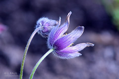 """Gemeine Kchenschelle """"Pulsatilla"""" (Elbmaedchen) Tags: pflanze blumen frhling violett pulsatilla kuhschelle windrschen vision:outdoor=0743 vision:sky=0823 vision:clouds=0508"""