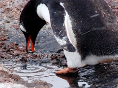 I found a stone (ericy202) Tags: penguin gentoo december antarctica 2006 wildpenguin