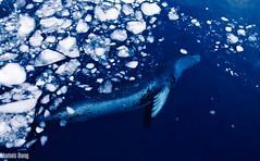 Leopard seal under the brash (jmzbond) Tags: seal brash leopardseal