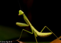 NL0A7565 (ala9900) Tags: macro green canon mantis flash praying insects 100mm l f28 5d3