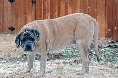 Bella in the Snow-February 2014 (boboatman1) Tags: dog snow englishmastiff mastiff bella {vision}:{outdoor}=0917