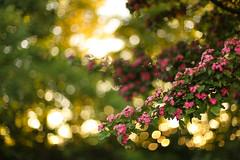 bokeh (Sweety586) Tags: flowers summer sunlight green nature canon 50mm bokeh sommer details 14 natur blumen grn sonne strauch 6d sonnenlicht vision:flower=0581 vision:plant=0921 vision:outdoor=0541