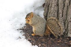 Squirrels at the University of Michigan (February 21, 2014) (cseeman) Tags: squirrels annarbor michigan animal campus universityofmichigan winter tree umsquirrels02212014 snow cold cute wet wetsquirrels februaryumsquirrel gobluesquirrels umsquirrel foxsquirrels easternfoxsquirrels michiganfoxsquirrels universityofmichiganfoxsquirrels