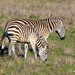 plains zebra mother and foal