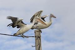 Pole position Pelicans 2015-01-25 (_MG_0890) (ajhaysom) Tags: australia melbourne pelican werribee australianbirds australianpelican pelecanusconspicillatus canoneos60d sigma120400