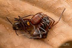 Ground spider (Zodariidae) - DSC_8279 (nickybay) Tags: macro spider singapore ant ground prey zodariidae dairyfarmnaturepark