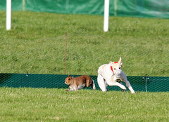 Hare Coursing Cruelty January 31st 2015