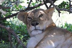 Groggy Lioness