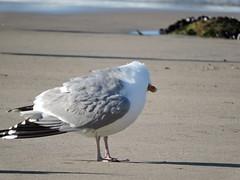 Gaivota prateada (Larus argentatus)-6 (Luis.Mota) Tags: gull gaivota larus argentatus prateada