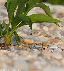 Under cover (v4vodka) Tags: nature animal wildlife chick birdwatching plover pipingplover shorebird charadriusmelodus pipingploverchick birdbirding sieweczkablada