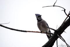 February 15, 2015 - A blue jay Thornton tree. (LE Worley)