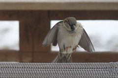 House sparrow landing on a chair (Scott Alan McClurg) Tags: life winter wild house snow cold bird nature fly flying song wildlife flight neighborhood landing deck sparrow land suburbs snowing gliding flapping housesparrow flap songbird naturephotography glide wildlifered