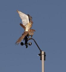 American Kestrels Mating 2 (Darin Ziegler) Tags: urban male female nikon colorado falcon coloradosprings mating anemometer americankestrel birdofprey sparrowhawk weatherstation d300 falcosparverius davisvantagepro2 darinziegler afsvriinikkor300mmf28gifed