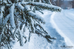 Frozen Pines (R3D_Photography) Tags: road winter snow cold tree pine frozen branch branches evergreen covered r3dphotography raysheleyiii