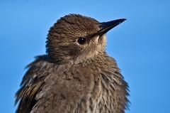 European Starling I (ashtongrant) Tags: canada nova european birding starling scotia juvenile julyaugust