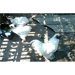 เหมือนจะเคยเห็นไก่พันธุ์นี้ในเกมฟาร์มวิลล์ ชื่อไรหว่า ในเกมเกิดจากไข่ทองคำนะ ถ้าจำไม่ผิด