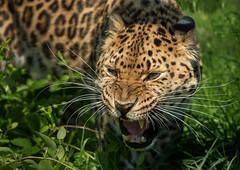 Amur Leopard (Eddie Hyde) Tags: nature bigcats whf