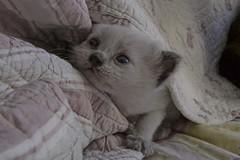 Chatons mignons (samuel.milbert) Tags: blue cats cute trois de three bed eyes kitten chat mother yeux lit sacr mignon chatons bleus birmanie