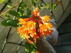 Hummingbirds Favourite (knightbefore_99) Tags: light flower colour tree fleur beauty vancouver spring bush pretty hummingbird balcony flor sunny petal deck honeysuckle eastvan