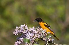 Lilas pour lui! Oriole de baltimore. (pascaleforest) Tags: canada bird fleur spring quebec passion oiseau lilas orioledebaltimore primtenps