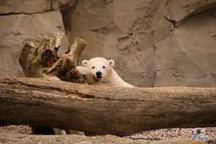 Eisbr Lilli im Zoo Bremerhaven 30.04.2016 Teil 2  16 (Fruehlingsstern) Tags: sunset sonnenuntergang polarbear lloyd lili bremerhaven zooammeer valeska eisbr canoneos750 tamron16300