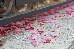 Orta San Giulio (torriman) Tags: flowers italy rose photography sony ortasangiulio sonynex3