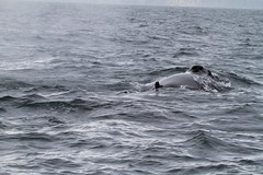 Humpback Whale Blowhole (andrewtheadventurer) Tags: bay iceland blowhole whale humpback husavik skjlfandi