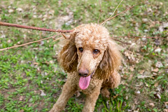Help me! (Perry McKenna) Tags: dogs animals branch cooper barbed impaled standardpoodles