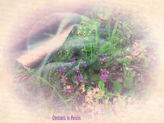 des Violettes !( MODESTIE ) (christabelle12300( très ,très peu présente )) Tags: creativephotography languageofflowers floralaromas