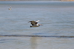 IMG_0543 (biqua) Tags: pelican nsw theentrance