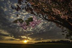 Cherry Blossom Sunset (ianandbarbara.bonnell@btinternet.com) Tags: sunset england tree rural landscape lancashire cherryblossom serene sthelens wigan merseyside billinge northwestengland