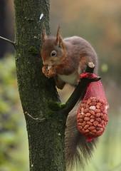 Squirrel eating peanuts (jopieborst) Tags: nature animal squirrel wildlife veluwe