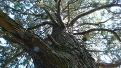 OIssel - Le parc municipal du chteau de la Marquise - Sequoia (jeanlouisallix) Tags: park panorama france tree nature seine landscape jardin arboretum arbres maritime normandie parc sequoia paysages plantes haute alles oissel sequoiadendon