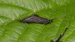 6475 Little Black Caddisfly  (brachycentrus species) (Pete.L .Hawkins Photography) Tags: black little pentax species p caddisfly pentax100mmmacro petehawkins brachycentrus petehawkinsphotography pentaxk3 petelhawkinsphotography petelhawkins pentaxmacroinsects