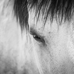 The Eye of a Horse (christophercosgrove) Tags: horse white eye art grey bay looking fine pony serene sureal